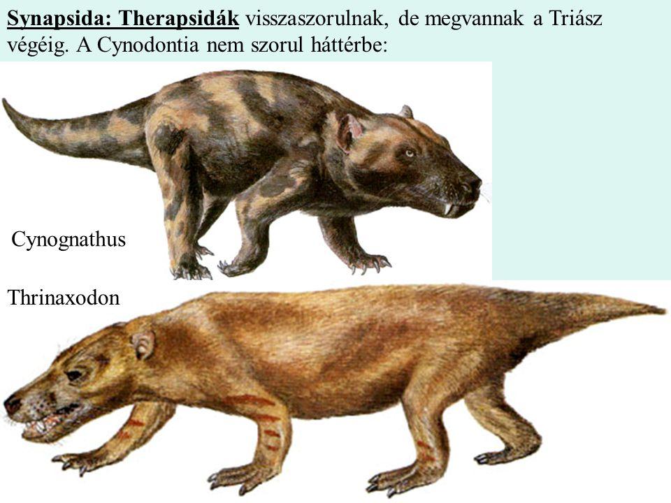 9 Synapsida: Therapsidák visszaszorulnak, de megvannak a Triász végéig. A Cynodontia nem szorul háttérbe: Cynognathus Thrinaxodon