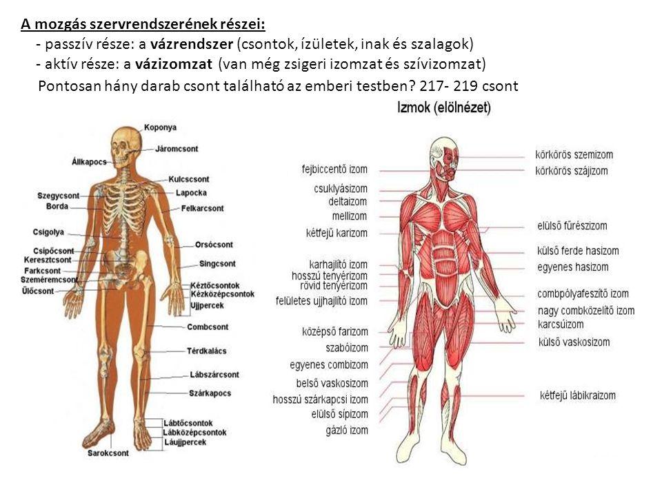 A mozgás szervrendszerének részei: - passzív része: a vázrendszer (csontok, ízületek, inak és szalagok) - aktív része: a vázizomzat (van még zsigeri izomzat és szívizomzat) Pontosan hány darab csont található az emberi testben.