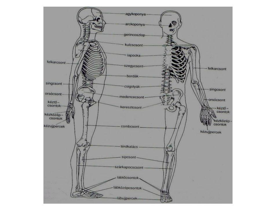 Az izmok inakkal kapcsolódnak a csontokhoz.