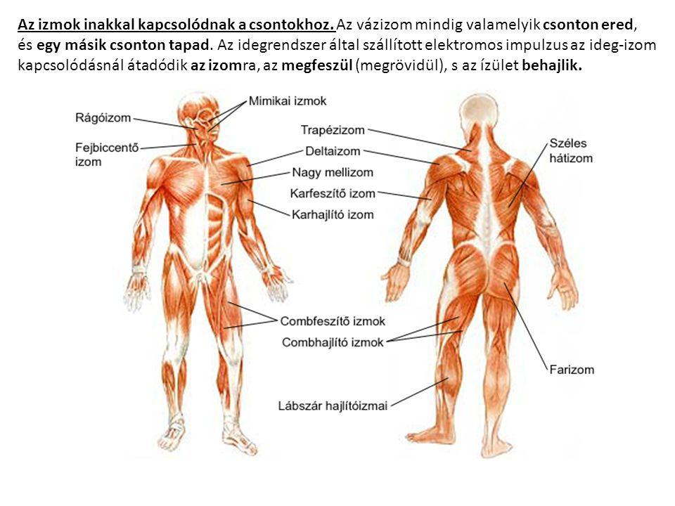 Az izmok inakkal kapcsolódnak a csontokhoz. Az vázizom mindig valamelyik csonton ered, és egy másik csonton tapad. Az idegrendszer által szállított el