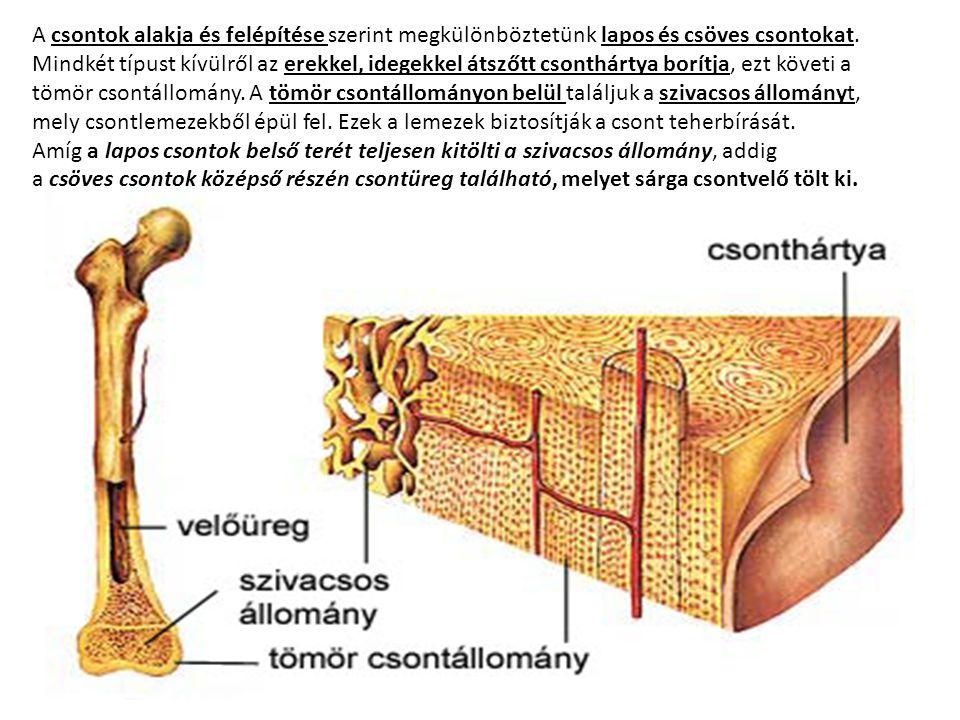 A csontok alakja és felépítése szerint megkülönböztetünk lapos és csöves csontokat. Mindkét típust kívülről az erekkel, idegekkel átszőtt csonthártya