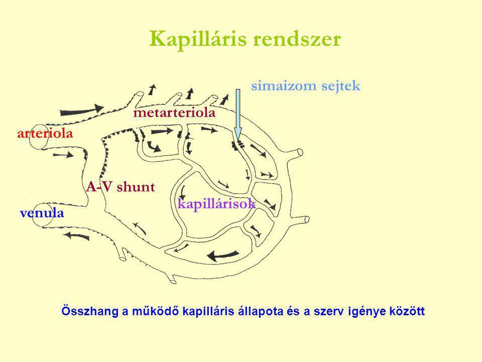 arteriola venula metarteriola kapillárisok simaizom sejtek A-V shunt Összhang a működő kapilláris állapota és a szerv igénye között Kapilláris rendszer