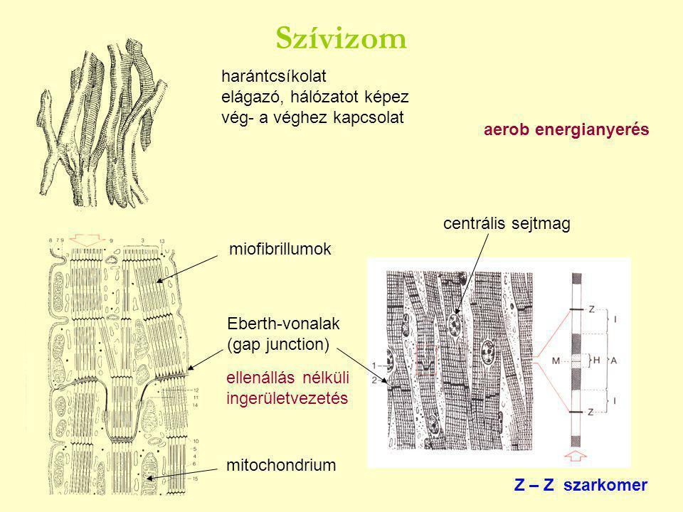 harántcsíkolat elágazó, hálózatot képez vég- a véghez kapcsolat Eberth-vonalak (gap junction) centrális sejtmag Z – Z szarkomer ellenállás nélküli ingerületvezetés aerob energianyerés miofibrillumok mitochondrium Szívizom