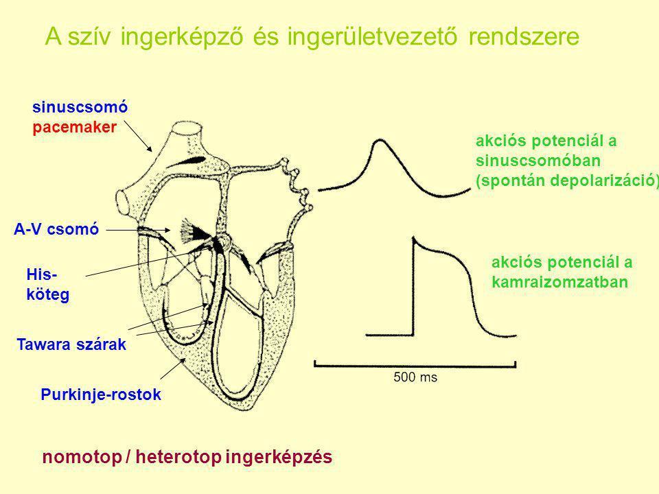 A szív ingerképző és ingerületvezető rendszere sinuscsomó pacemaker A-V csomó His- köteg Tawara szárak Purkinje-rostok nomotop / heterotop ingerképzés akciós potenciál a sinuscsomóban (spontán depolarizáció) akciós potenciál a kamraizomzatban