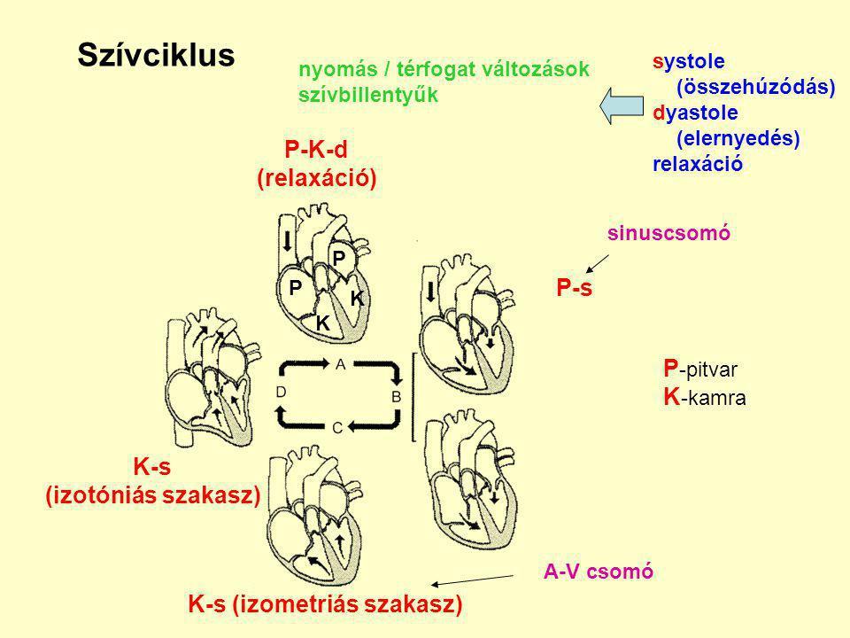 Szívciklus nyomás / térfogat változások szívbillentyűk systole (összehúzódás) dyastole (elernyedés) relaxáció P-K-d (relaxáció) P-s K-s (izometriás szakasz) K-s (izotóniás szakasz) sinuscsomó A-V csomó P P K K P -pitvar K -kamra