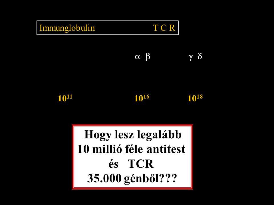  Immunglobulin T C R 10 11 10 16 10 18 Hogy lesz legalább 10 millió féle antitest és TCR 35.000 génből???