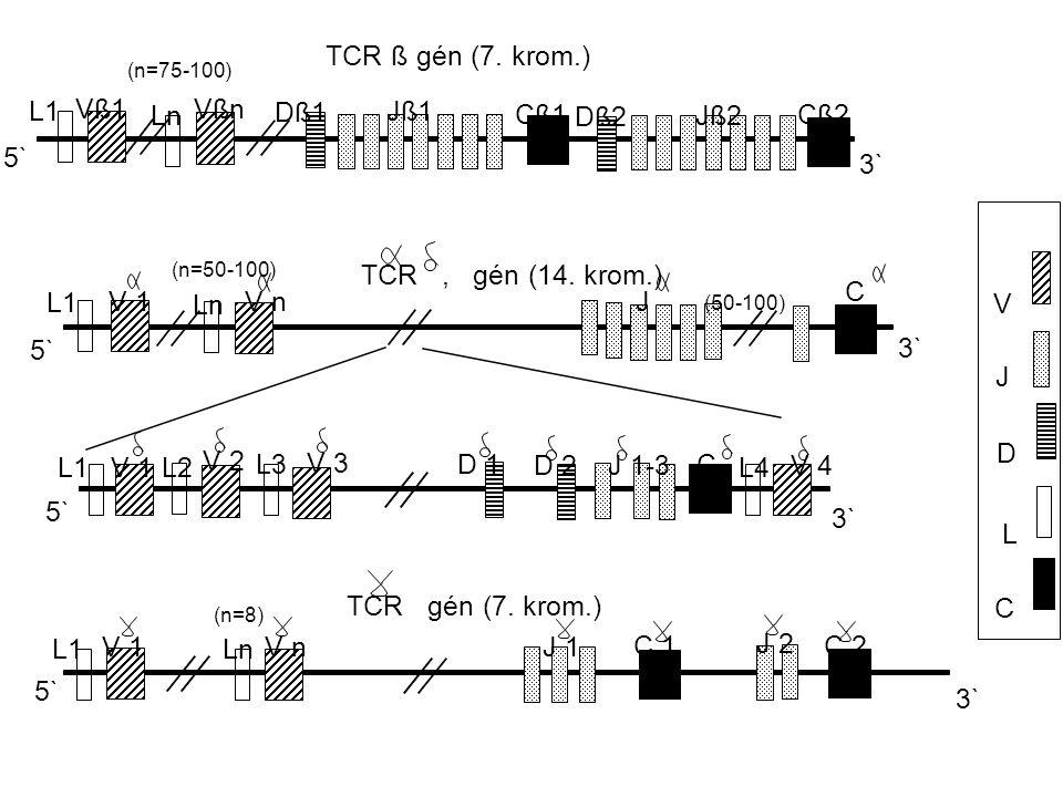 5` 3` TCR, gén (14. krom.) TCR ß gén (7. krom.) TCR gén (7.