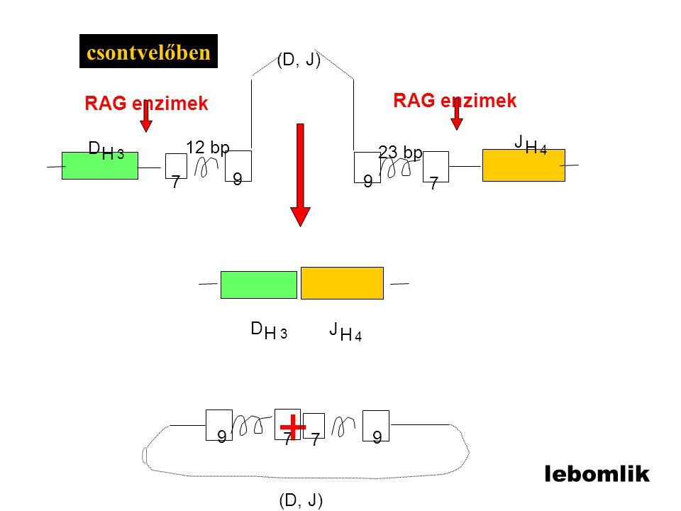 7 9 7 9 9 7 12 bp 23 bp 9 7 D J H H 4 3 D H 3 J H 4 + RAG enzimek (D, J) csontvelőben lebomlik