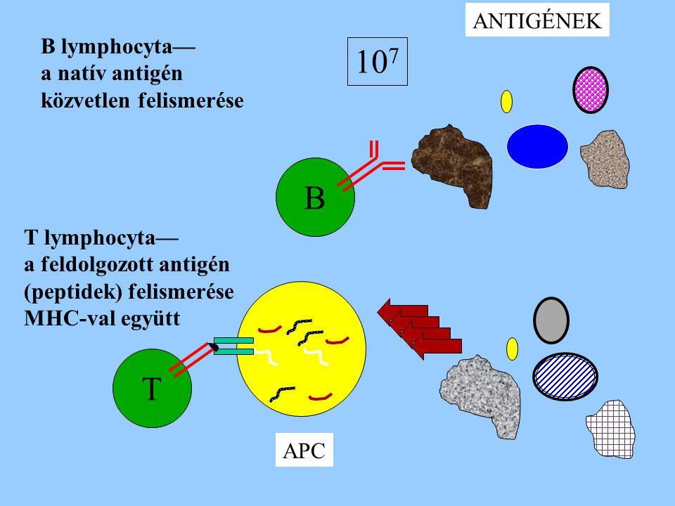 B lymphocyta— a natív antigén közvetlen felismerése B ANTIGÉNEK APC T lymphocyta— a feldolgozott antigén (peptidek) felismerése MHC-val együtt T 10 7