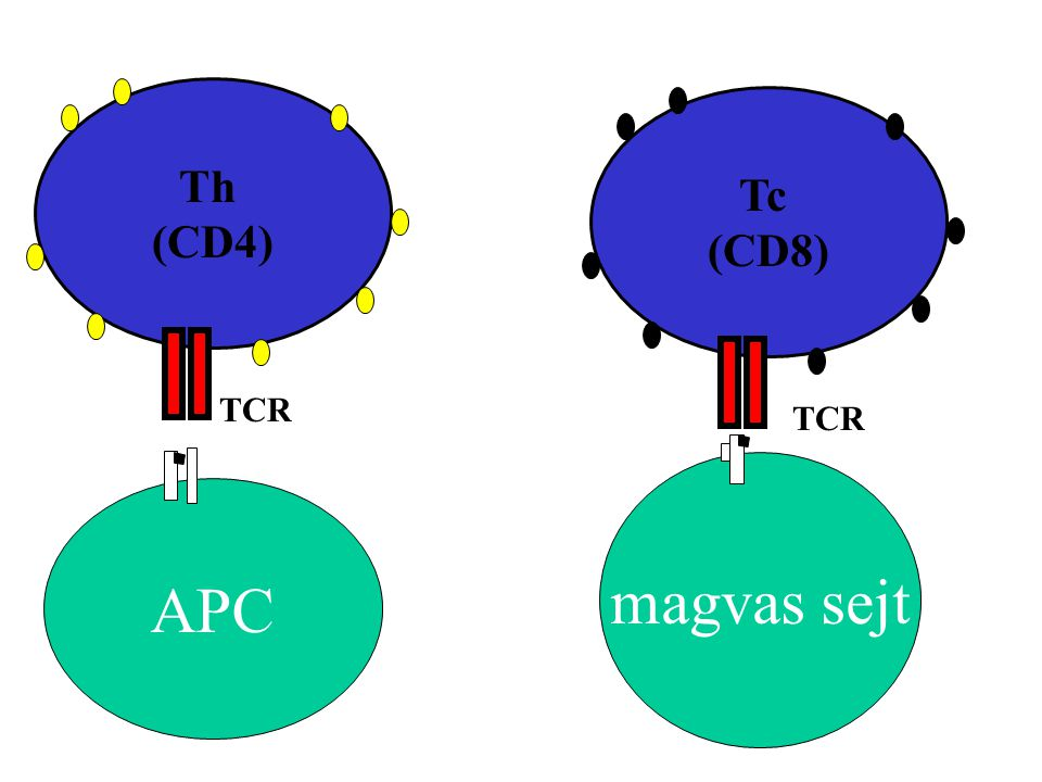 APC Th (CD4) Tc (CD8) TCR magvas sejt
