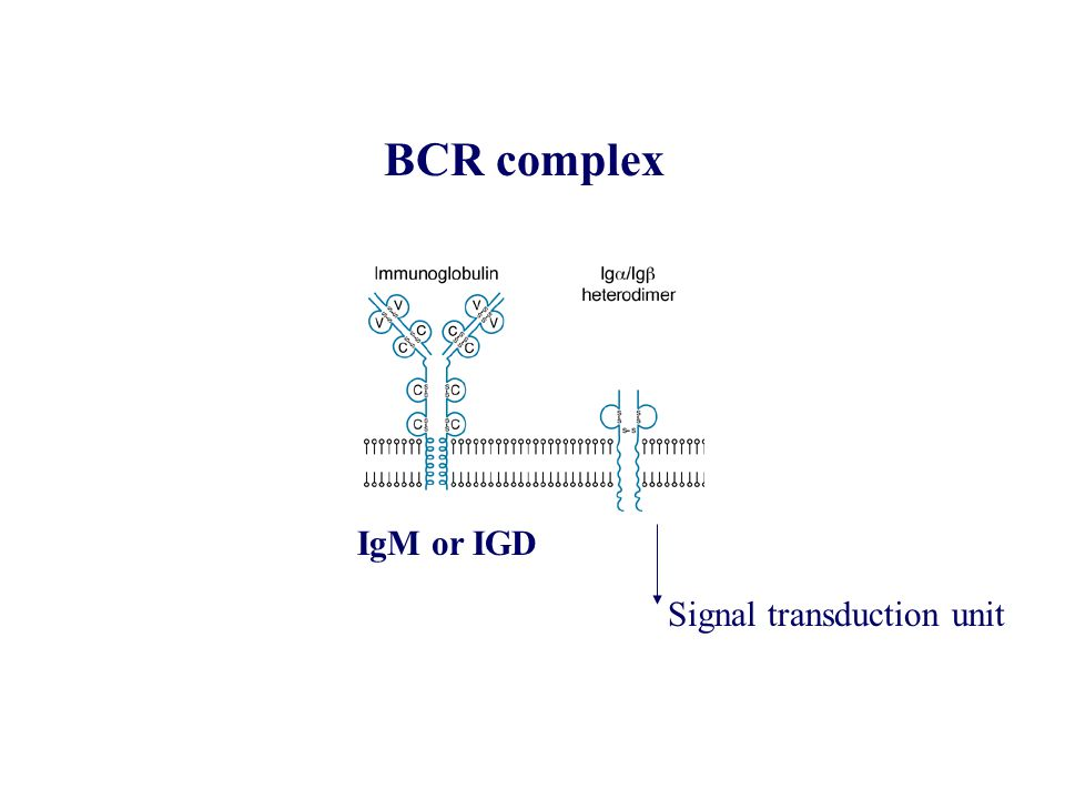 BCR complex IgM or IGD Signal transduction unit