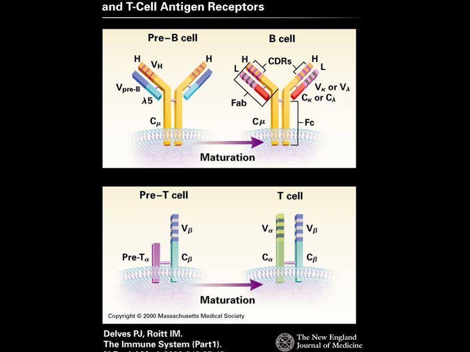 B cell (IgM, IgD) plasma cell: IgG IgM IgE IgA IgD classes