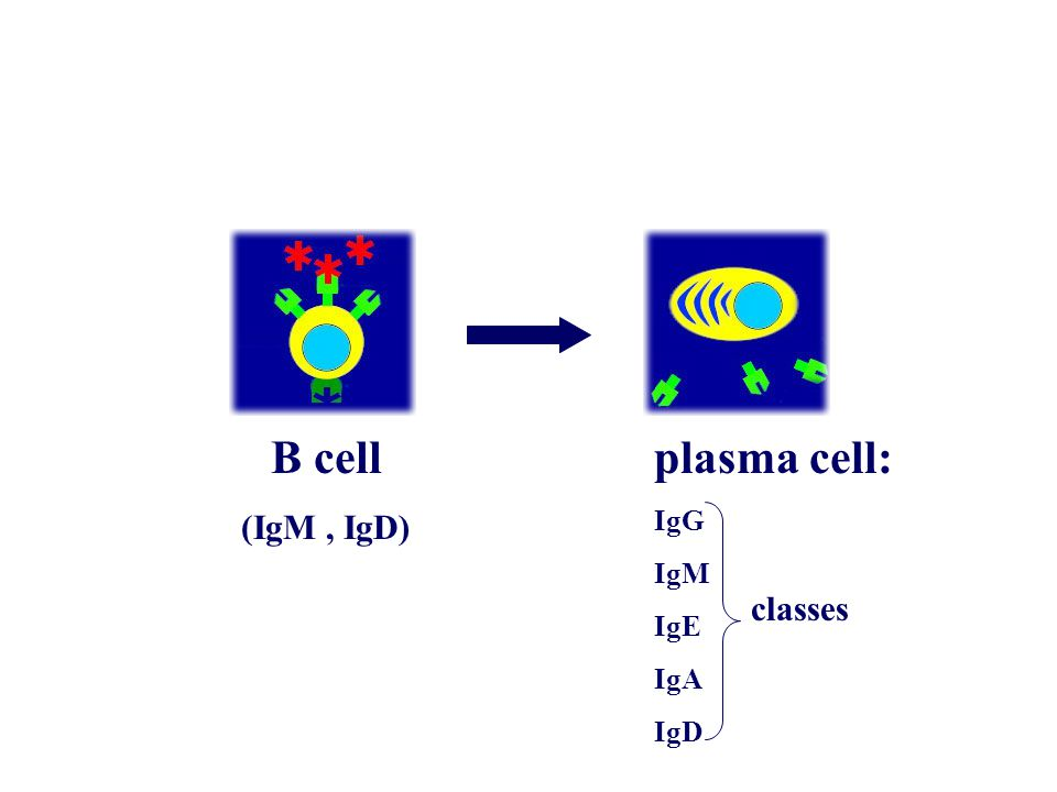 B cell (IgM, IgD) plasma cell: IgG IgM IgE IgA IgD classes