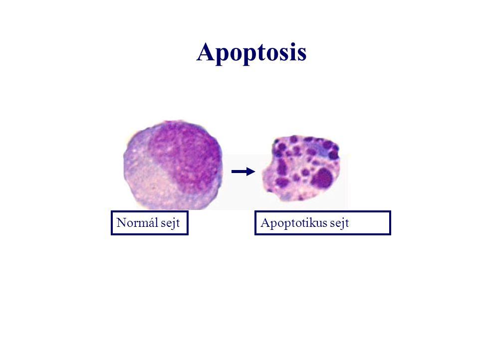 Normál sejtApoptotikus sejt Apoptosis