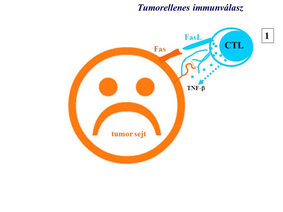 tumor tumor sejt TNF-  CTL Tumorellenes immunválasz 1 Fas FasL