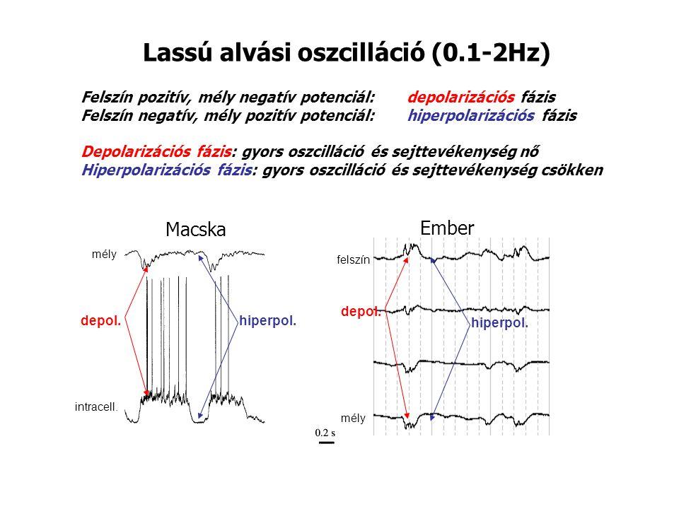 Lassú alvási oszcilláció (0.1-2Hz) Felszín pozitív, mély negatív potenciál: depolarizációs fázis Felszín negatív, mély pozitív potenciál: hiperpolarizációs fázis Depolarizációs fázis: gyors oszcilláció és sejttevékenység nő Hiperpolarizációs fázis: gyors oszcilláció és sejttevékenység csökken Macska Ember mély felszín mély intracell.