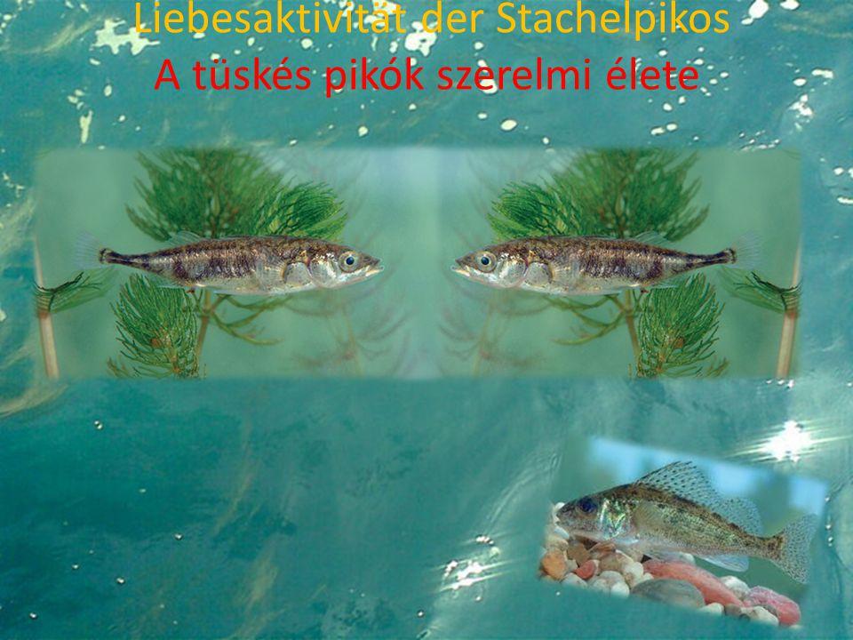 Liebesaktivität der Stachelpikos A tüskés pikók szerelmi élete