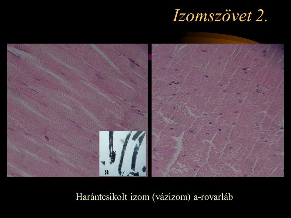 Izomszövet 2. Harántcsikolt izom (vázizom) a-rovarláb a