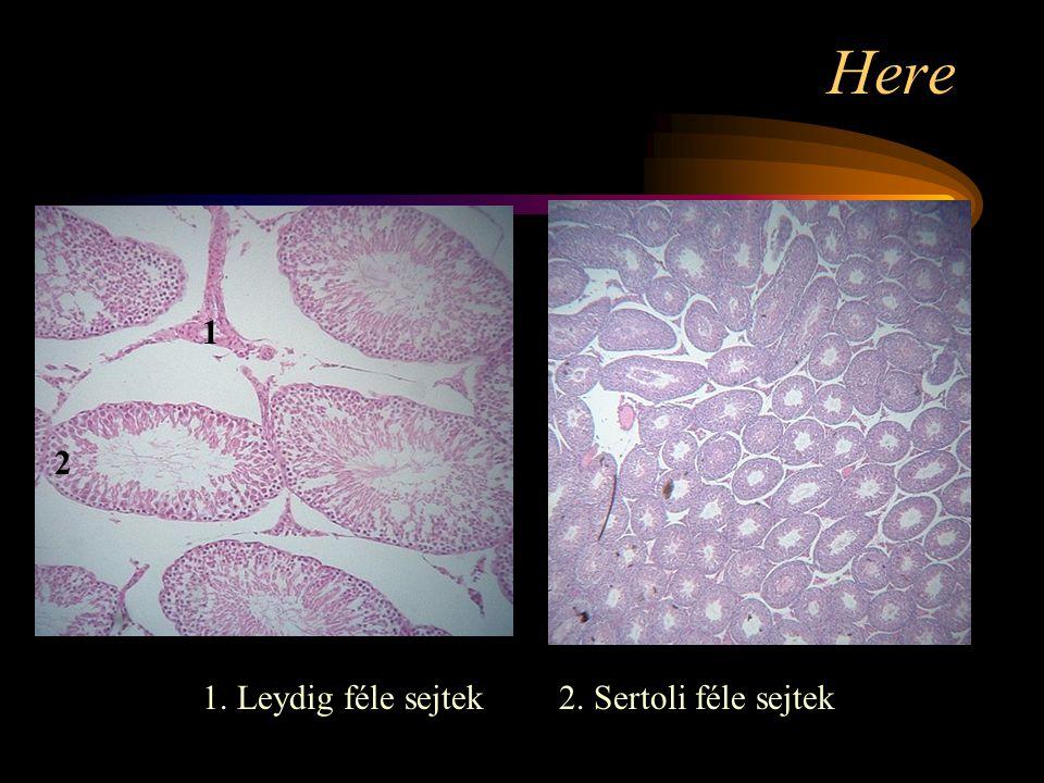 Here 1. Leydig féle sejtek2. Sertoli féle sejtek 1 2