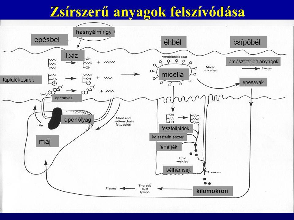 szabad zsírsavak – vér fehérjékhez (albumin) kötötten trigliceridek, koleszterin, koleszeterin észter, foszfolpipidek – lipoproteinek részeként a lipoprotein belsejében helyezkednek el az apoláros lipidek (trigliceridek, koleszetrinészeterek), míg a külső részen fehérje burok (apoproteinek), foszfolipidek, pl.