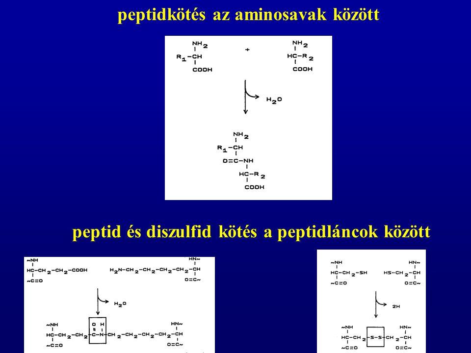 az aminosavak mintegy 10%-a a gyomorból, döntő része az éhbélből szívódik föl felszívódásuk általában Na-függő aktív transzporttal történik speciális szállító fehérjék vesznek részt ebben a folyamatban, az azonos szerkezetű aminosavak között kompetíció folyik a di- és tripeptidek szintén aktív transzporttal szívódnak föl, a bélhámsejtekben aminosavakra bomlanak Az aminosavak felszívódása és transzportja