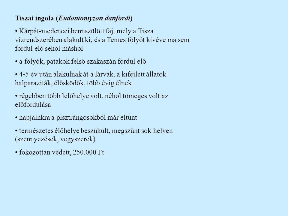 Tiszai ingola (Eudontomyzon danfordi) Kárpát-medencei bennszülött faj, mely a Tisza vízrendszerében alakult ki, és a Temes folyót kivéve ma sem fordul