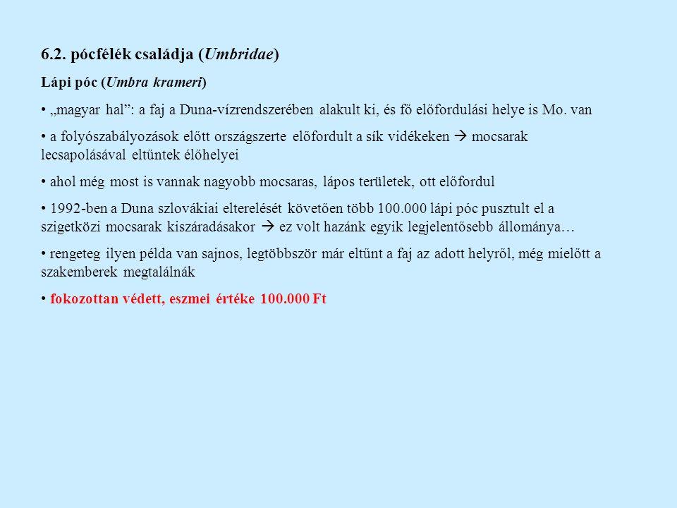 """6.2. pócfélék családja (Umbridae) Lápi póc (Umbra krameri) """"magyar hal"""": a faj a Duna-vízrendszerében alakult ki, és fő előfordulási helye is Mo. van"""