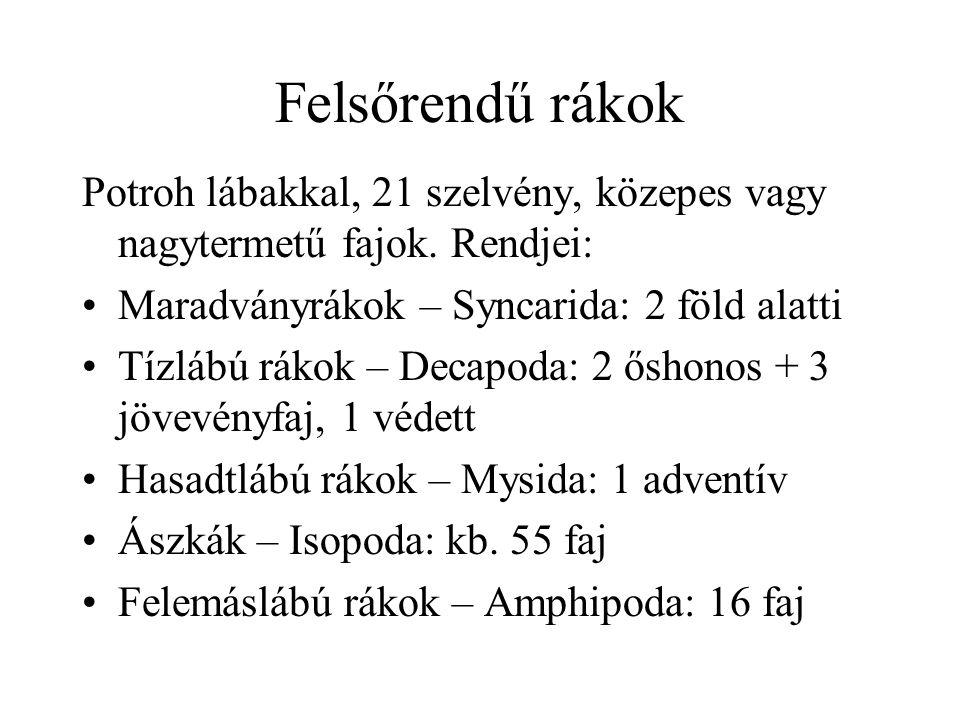 Tízlábú rákok Védett: kövi rák (Austropotamobius torrentium): hegyi patak Veszélyeztetett (EU védett): folyami rák (Astacus astacus): síkság-dombság, szennyezés, rákpestis, konkurrencia Kecskerák 100 év, cifrarák+jelzőrák: 10-20 év: pótlás, ellenállóbb, pestis-terjesztés