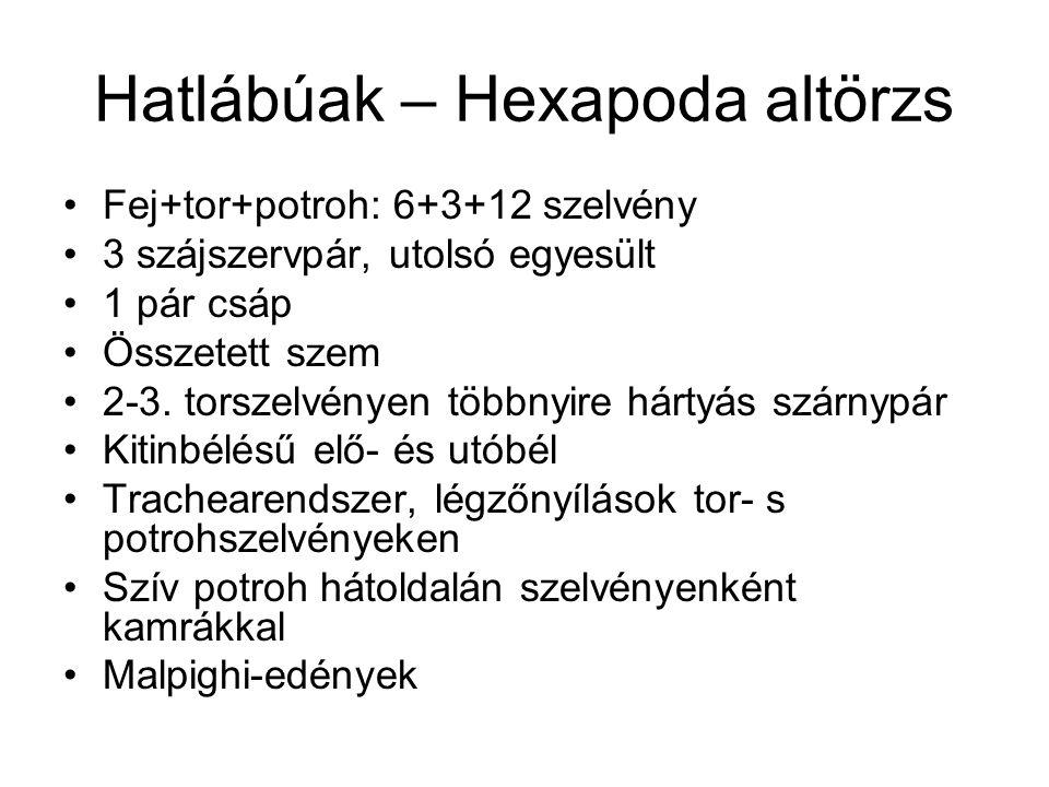 Hatlábúak – Hexapoda altörzs Fej+tor+potroh: 6+3+12 szelvény 3 szájszervpár, utolsó egyesült 1 pár csáp Összetett szem 2-3. torszelvényen többnyire há