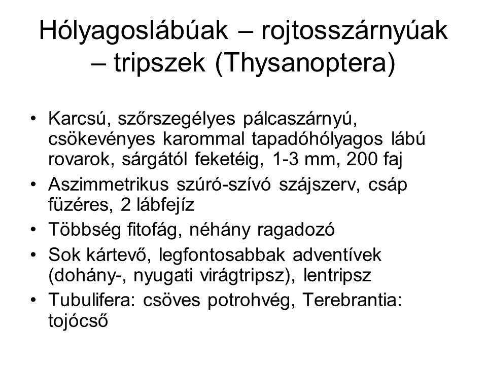 Hólyagoslábúak – rojtosszárnyúak – tripszek (Thysanoptera) Karcsú, szőrszegélyes pálcaszárnyú, csökevényes karommal tapadóhólyagos lábú rovarok, sárgá