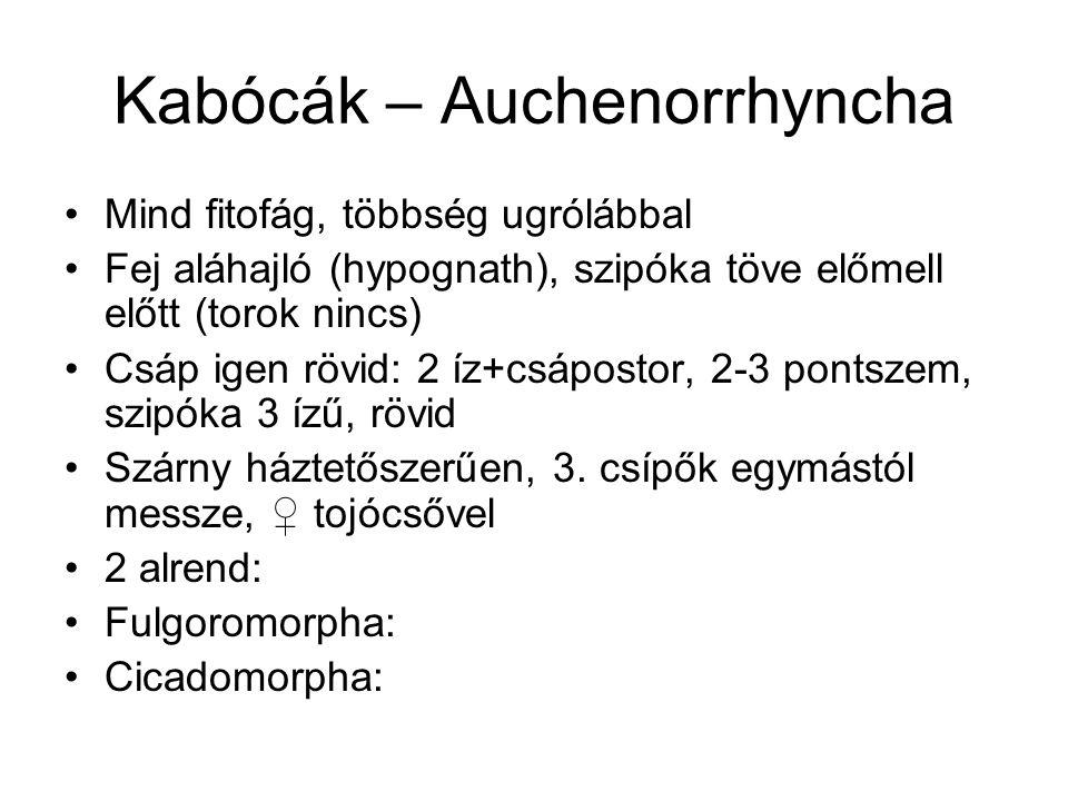 Kabócák – Auchenorrhyncha Mind fitofág, többség ugrólábbal Fej aláhajló (hypognath), szipóka töve előmell előtt (torok nincs) Csáp igen rövid: 2 íz+cs