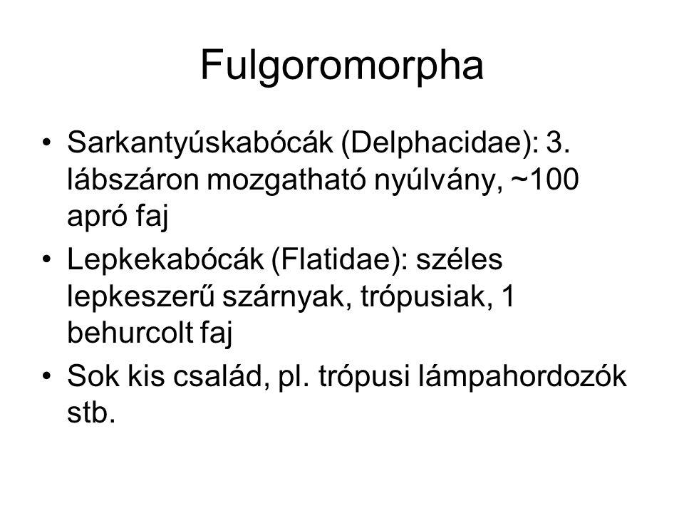 Fulgoromorpha Sarkantyúskabócák (Delphacidae): 3. lábszáron mozgatható nyúlvány, ~100 apró faj Lepkekabócák (Flatidae): széles lepkeszerű szárnyak, tr