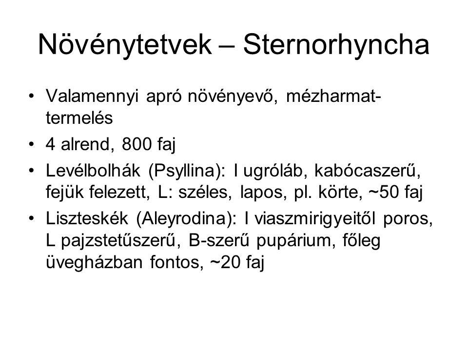 Növénytetvek – Sternorhyncha Valamennyi apró növényevő, mézharmat- termelés 4 alrend, 800 faj Levélbolhák (Psyllina): I ugróláb, kabócaszerű, fejük fe