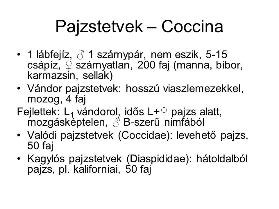Pajzstetvek – Coccina 1 lábfejíz, ♂ 1 szárnypár, nem eszik, 5-15 csápíz, ♀ szárnyatlan, 200 faj (manna, bíbor, karmazsin, sellak) Vándor pajzstetvek: