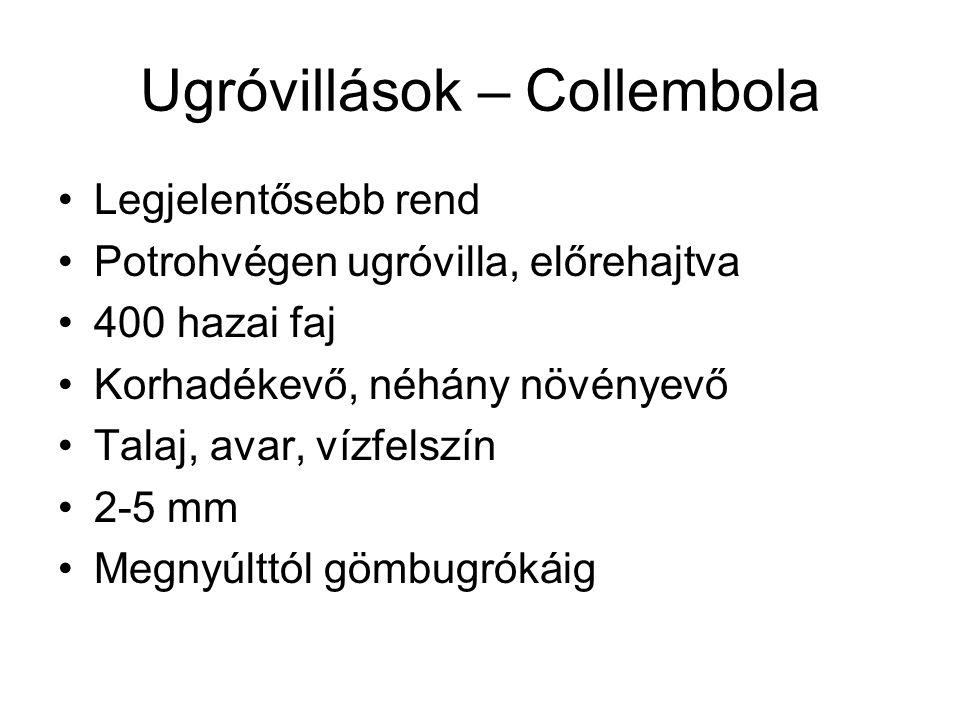 Ugróvillások – Collembola Legjelentősebb rend Potrohvégen ugróvilla, előrehajtva 400 hazai faj Korhadékevő, néhány növényevő Talaj, avar, vízfelszín 2