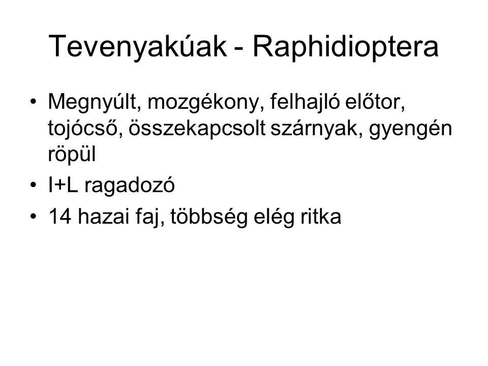 Tevenyakúak - Raphidioptera Megnyúlt, mozgékony, felhajló előtor, tojócső, összekapcsolt szárnyak, gyengén röpül I+L ragadozó 14 hazai faj, többség el
