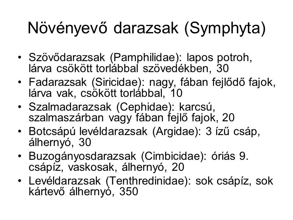 Növényevő darazsak (Symphyta) Szövődarazsak (Pamphilidae): lapos potroh, lárva csökött torlábbal szövedékben, 30 Fadarazsak (Siricidae): nagy, fában f