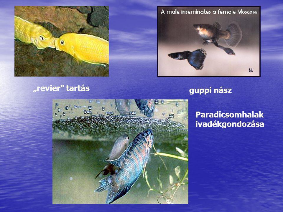"""""""revier"""" tartás guppi nász Paradicsomhalak ivadékgondozása"""