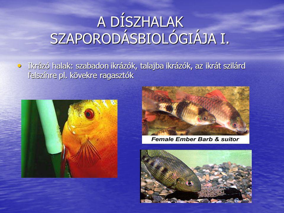 A DÍSZHALAK SZAPORODÁSBIOLÓGIÁJA I. Ikrázó halak: szabadon ikrázók, talajba ikrázók, az ikrát szilárd felszínre pl. kövekre ragasztók Ikrázó halak: sz