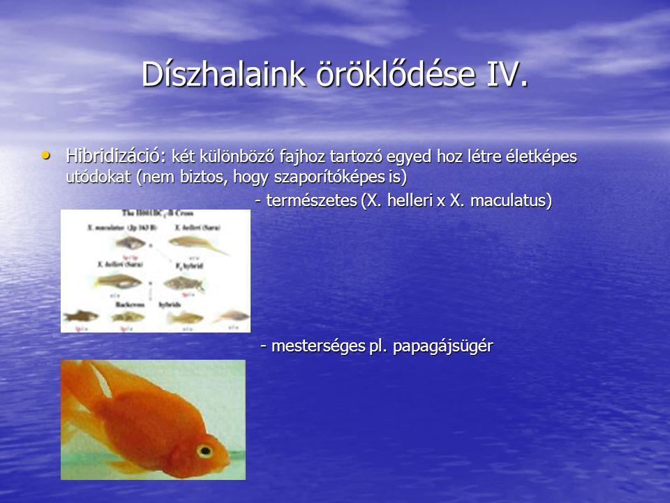 Díszhalaink öröklődése IV. Hibridizáció: két különböző fajhoz tartozó egyed hoz létre életképes utódokat (nem biztos, hogy szaporítóképes is) Hibridiz