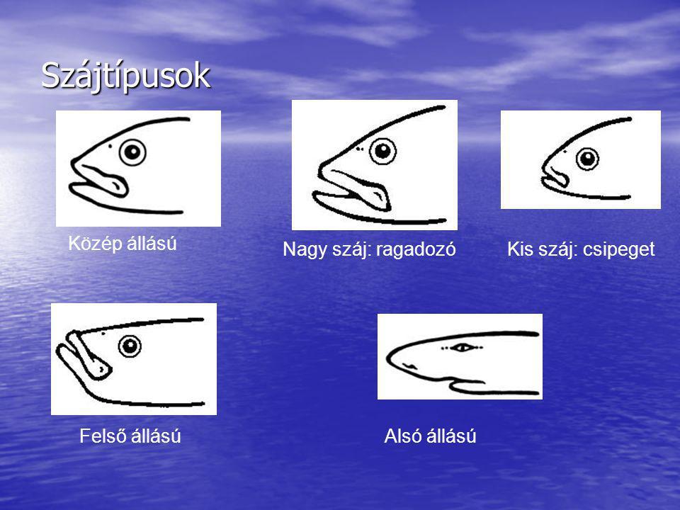 Szájtípusok Közép állású Nagy száj: ragadozóKis száj: csipeget Felső állásúAlsó állású