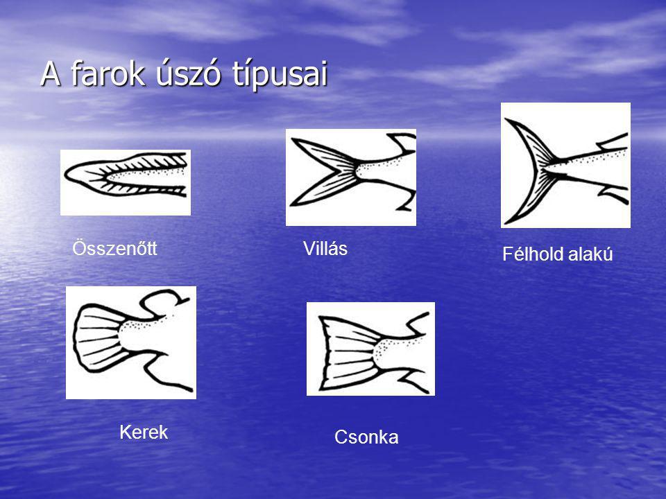 A farok úszó típusai Villás Félhold alakú Kerek Csonka Összenőtt