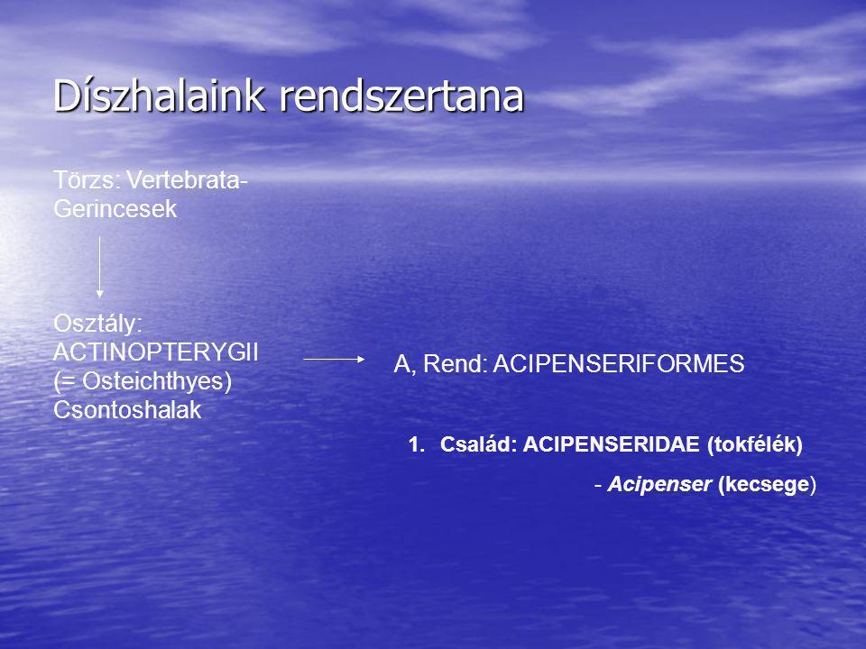 Díszhalaink rendszertana Törzs: Vertebrata- Gerincesek A, Rend: ACIPENSERIFORMES Osztály: ACTINOPTERYGII (= Osteichthyes) Csontoshalak 1.Család: ACIPE