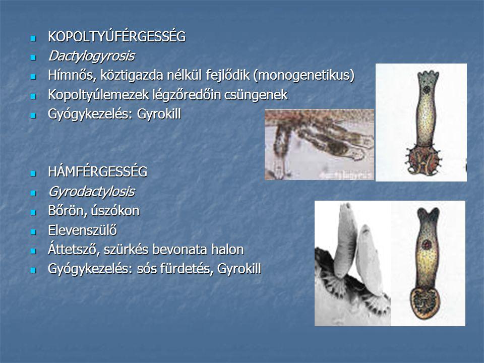KOPOLTYÚFÉRGESSÉG KOPOLTYÚFÉRGESSÉG Dactylogyrosis Dactylogyrosis Hímnős, köztigazda nélkül fejlődik (monogenetikus) Hímnős, köztigazda nélkül fejlődi