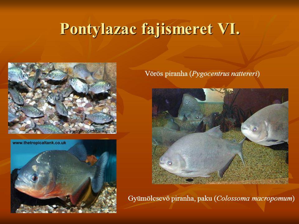 Pontylazac fajismeret VI. Vörös piranha (Pygocentrus nattereri) Gyümölcsevő piranha, paku (Colossoma macropomum)