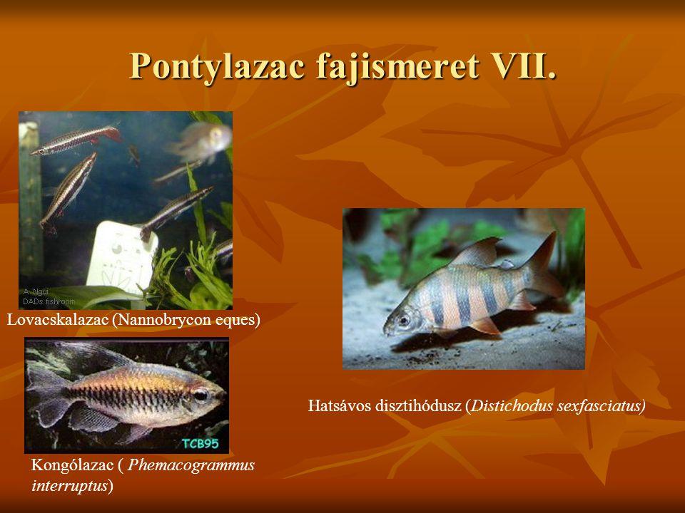 Pontylazac fajismeret VII. Lovacskalazac (Nannobrycon eques) Kongólazac ( Phemacogrammus interruptus) Hatsávos disztihódusz (Distichodus sexfasciatus)