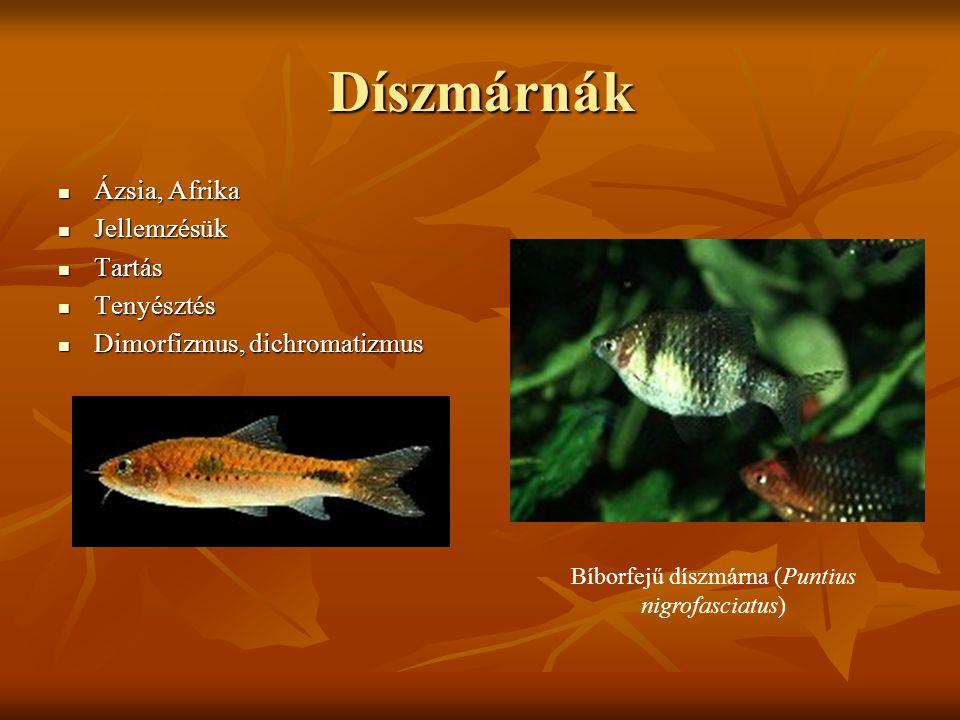 Díszmárnák Ázsia, Afrika Ázsia, Afrika Jellemzésük Jellemzésük Tartás Tartás Tenyésztés Tenyésztés Dimorfizmus, dichromatizmus Dimorfizmus, dichromati