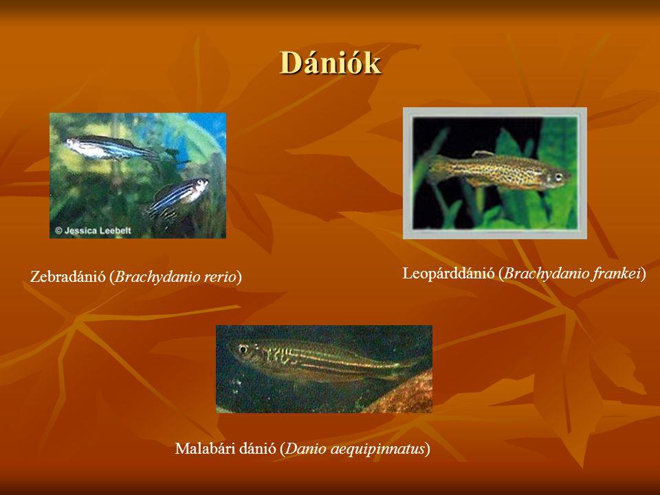 Dániók Zebradánió (Brachydanio rerio) Malabári dánió (Danio aequipinnatus) Leopárddánió (Brachydanio frankei)