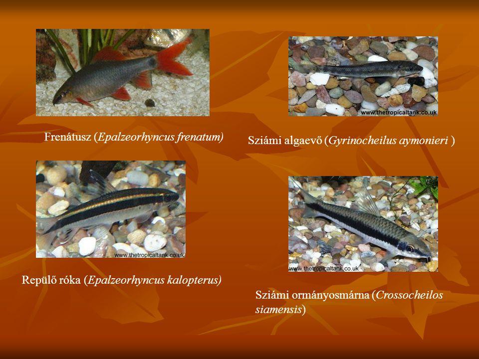 Frenátusz (Epalzeorhyncus frenatum) Repülő róka (Epalzeorhyncus kalopterus) Sziámi algaevő (Gyrinocheilus aymonieri ) Sziámi ormányosmárna (Crossochei