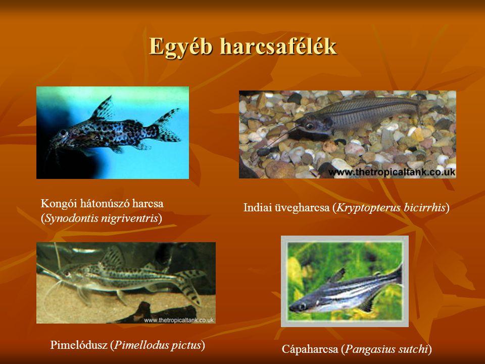 Egyéb harcsafélék Kongói hátonúszó harcsa (Synodontis nigriventris) Indiai üvegharcsa (Kryptopterus bicirrhis) Pimelódusz (Pimellodus pictus) Cápaharc